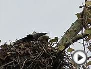 RHM Movie Bald & Golden Eagles Nesting @ Kent, Wa & Yakima
